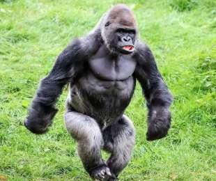 gorilla camminano come umani 3