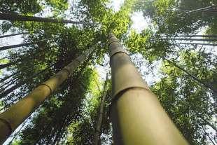 bambu' 1