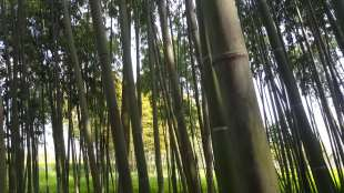 bambu' 3
