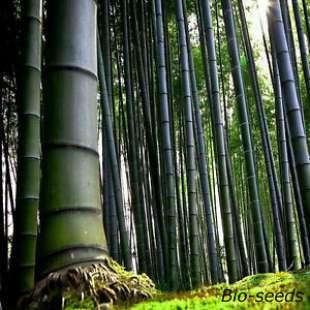 bambu' 5