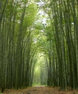 bambu' 6