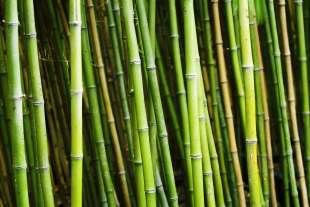 bambu' 7