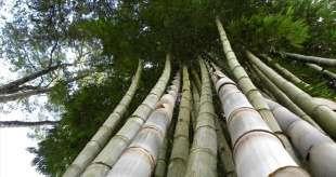 bambu' 8