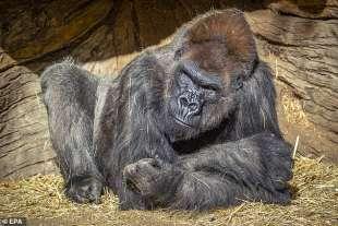 i gorilla dello zoo di san diego 1