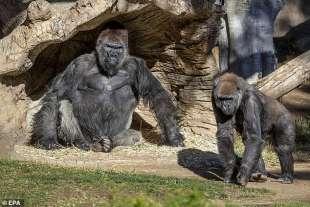 i gorilla dello zoo di san diego