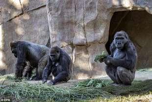 i gorilla dello zoo di san diego 2