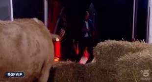 alfonso signorini in fuga dalla mucca 2