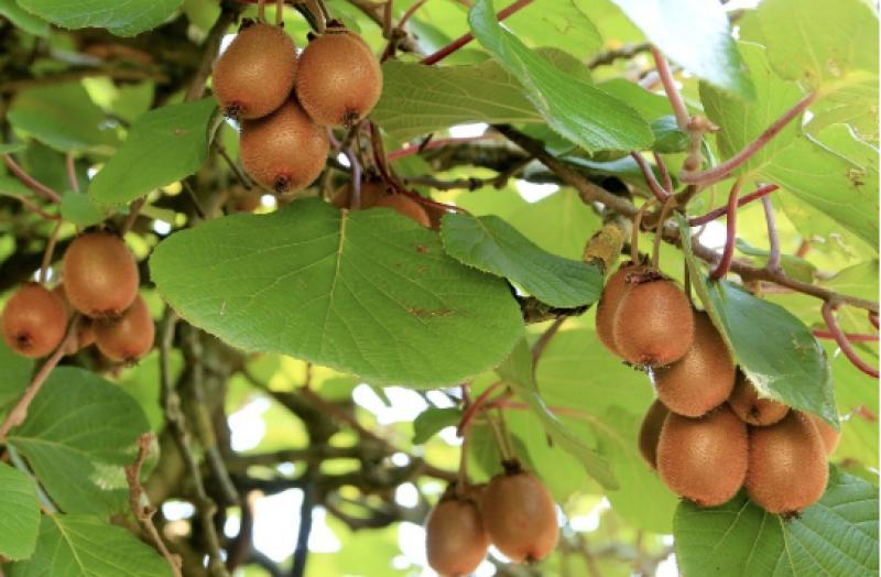 """Résultat de recherche d'images pour """"actinidia arbre"""""""
