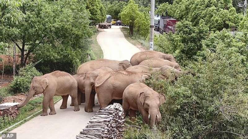 La mandria di elefante in citta?