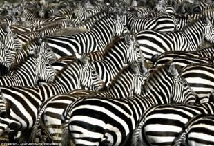 zebre attraversano la namibia
