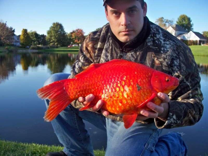 Un pesce rosso troppo cresciuto dago fotogallery for Pesci rossi costo