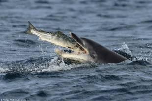 delfino ingoia tonno