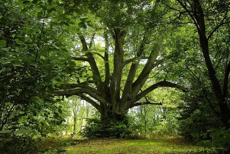 Tiglio secolare a milton keynes gli alberi inglesi for Tiglio albero