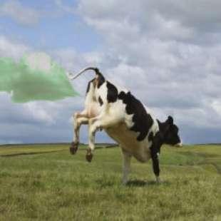 scoregge mucche