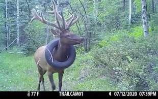 Il cervo con lo pneumatico al collo 2
