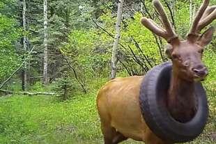 Il cervo con lo pneumatico al collo 4