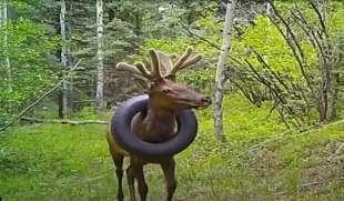 Il cervo con lo pneumatico al collo 5