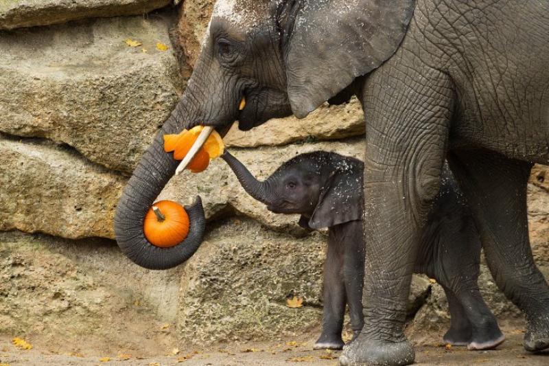 Elefanti mangiano una zucca al museo schoenbrunn di vienna - dago  fotogallery