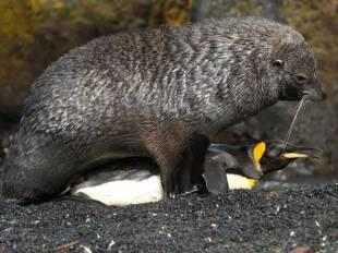 zazzaroni twitta otaria che fa sesso con pinguino